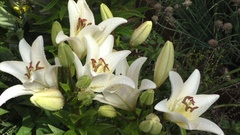 Flower white lily on a bed in a garden  Stock Footage