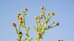 Thistle thorns against the sky Stock Footage