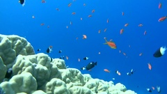 School of fish Sea goldie (Pseudanthias squamipinnis) and Bicolor Damselfish Stock Footage