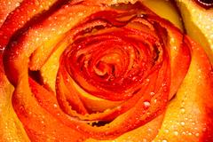 Orage Rose with Droplets Macro Stock Photos