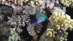 Bleekers parrotfish, Green parrotfish (Chlorurus bleekeri) sleeping   Stock Footage