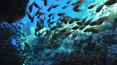 A flock of fish Pigmy Sweepers (Parapriacanthus ransonneti) floats in the shade Stock Footage