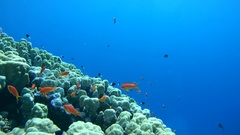 School of fish Sea goldie (Pseudanthias squamipinnis) near the reef at a depth Stock Footage