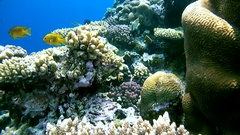 Colorful fish hiding in the middle of beautiful coral reef, Red sea  Stock Footage