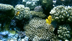 A pair of bright yellow fish Sulfur Damsel (Pomacentrus sulfureus)   Stock Footage