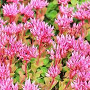 "Sedum false ""Purpurea"" (lat. Sedum spurium ""Purpurea"") Stock Photos"