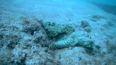 Well disguised Devil Scorpionfish (Scorpaenopsis diabolus) hiding on the reef, Stock Footage
