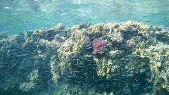 School of fish Hardyhead Silverside (Atherinomorus lacunosus) swims near corals Stock Footage