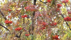Autumn branch with berries red rowan swaying Stock Footage