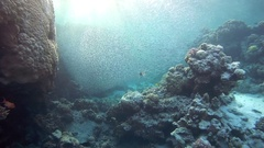 Red lionfishes (Pterois volitans) in the hunt at the school of fish Hardyhead Stock Footage