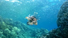 Red lionfish (Pterois volitans) prey on school of fish Hardyhead Silverside Stock Footage