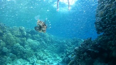 Snorkeling - young woman dives into a school of fish Hardyhead Silverside Stock Footage