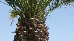 The Arecaceae Palmae tropic plant branches against blue sky Stock Footage