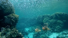 Group of Red lionfish (Pterois volitans) hunting in a large school of fish Stock Footage