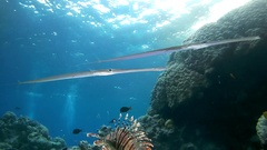Pair Trumpetfish or Stickfish (Aulostomus chinensis) swimming under the surface Stock Footage