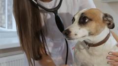 Female veterinarian checks up the dog's breath Stock Footage
