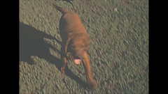 Vintage 16mm film, 1940 Americana, pet dog chocolate lab outside, summer Stock Footage