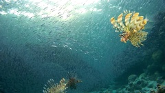Sunset hunting group of Red lionfish (Pterois volitans) on a huge school of fish Stock Footage