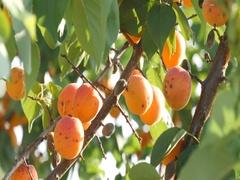 Gyeongbuk, Korea, Plum fruits swaying on branch Apricot tree Stock Footage