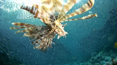 Sunset hunt group Red lionfish (Pterois volitans) on a large school of fish Stock Footage