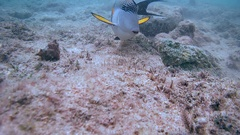 Sohal surgeonfish (Acanthurus sohal) floating close to the well-camouflaged Stock Footage