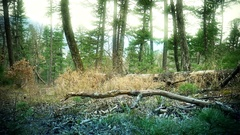 Magic Forest in Primorye cedar fall Stock Footage