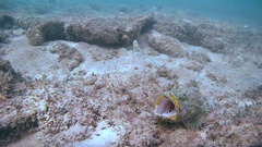 Devil Scorpionfish (Scorpaenopsis diabolus) opens his mouth and goes   Stock Footage