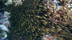 A large school of fish Pigmy Sweepers (Parapriacanthus ransonneti)   Stock Footage