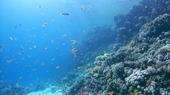 School of bright fish Sea goldie (Pseudanthias squamipinnis) swims near corals Stock Footage