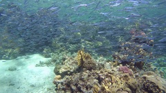 Red lionfish (Pterois volitans) hunt a huge school of fish Hardyhead Silverside Stock Footage