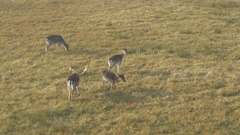 Deer and roebucks on the pasture on the grass field, wide angle by Sheyno. Stock Footage