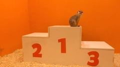 Cute meercat sitting at first place on a victory podium against orange Stock Footage