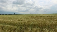 Field of golden wheat. Aerial view Stock Footage