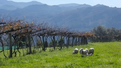 Country scene with sheeps Stock Footage