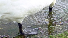 Mute Swan (Cygnus olor) paddling at the edge of a pool in slow motion.  Stock Footage