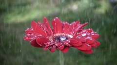 Red daisy gerbera flower with waterdrops in the rain Stock Footage