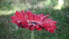 Droplets on a red gerbera flower petal while raining. Stock Footage