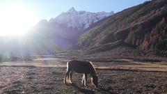 Nepali horse in sunrise lights. Manaslu curciut trek, Nepal. Stock Footage
