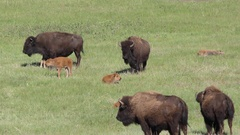 Bison Buffalo Cows and Calves Resting Summer in Green Grass in Prairie Stock Footage