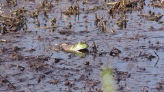 Bullfrog in Wetland Water in Great Dismal Swamp National Wildlife Refuge Stock Footage
