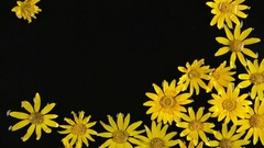 Floating daisy flowers in water in the wind. Stock Footage