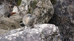 American Mountain Pika Grooming on Rocks in Rocky Mountains at Yellowstone Stock Footage