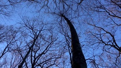 Barren trees against a winter sky Stock Footage