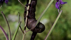 Caterpillar of sphingidae eat Epilobium sp. Stock Footage