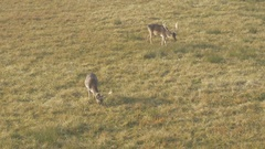 Two fallow deer on pasture in the nature,tracking shot by Sheyno. Stock Footage