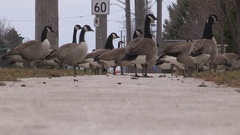 Canada geese cover park and city sidewalks leaving droppings behind Stock Footage