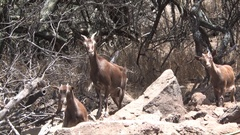 Feral Goats Hawaii Stock Footage
