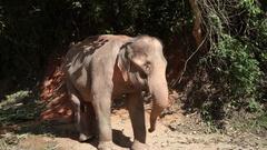 Thai elephant Stock Footage