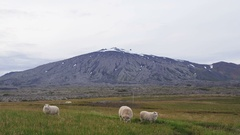 Sheep on grass in beautiful Iceland nature on snaefellsnes with volcano Stock Footage