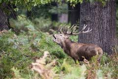 Majestic powerful red deer stag Cervus Elaphus in forest landscape during r.. Stock Photos